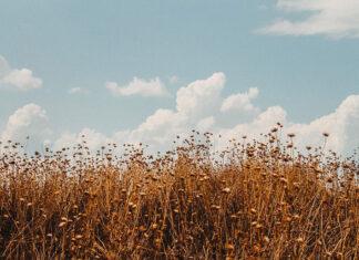 Oprysk dla kukurydzy